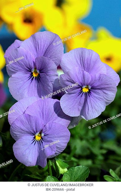 Flowering horned violets - hybrids in blue and yellow colours (Viola cornuta)