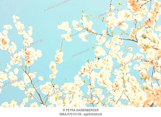 Cherry blossoms in spring, Prunus serrulata