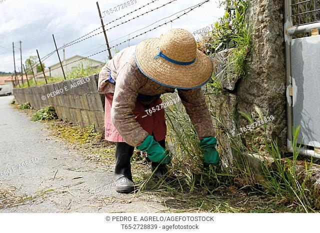 A woman with hat clean and remove weeds wall of his estate in Palas de Rei, Lugo