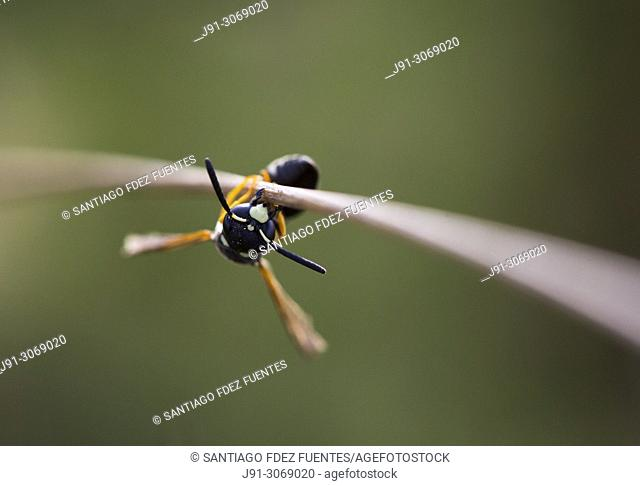Sleeping wasp clinging to a branch. Spain