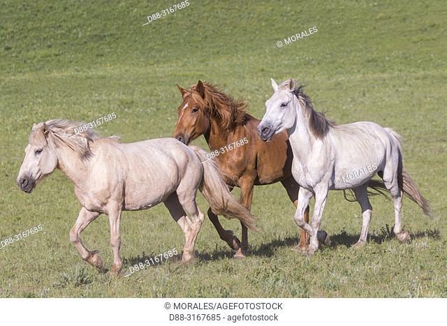 China, Inner Mongolia, Hebei Province, Zhangjiakou, Bashang Grassland, horses in a group in the meadow