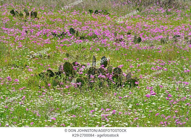 Wild phlox and cactus in spring along Ranch Road 152, Mason County, Texas, USA