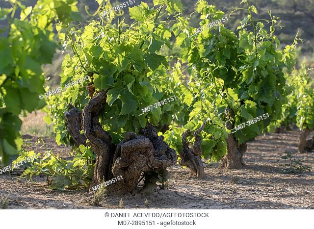 Century's vines in Briones, La Rioja wine region, Spain, Europe