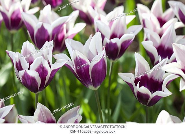 Purple Tulips, Netherlands