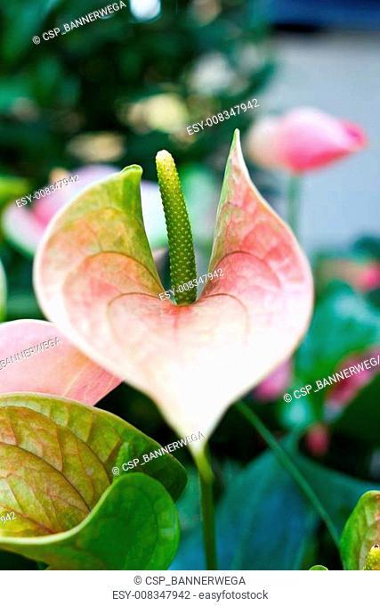spadix flower in rain forest