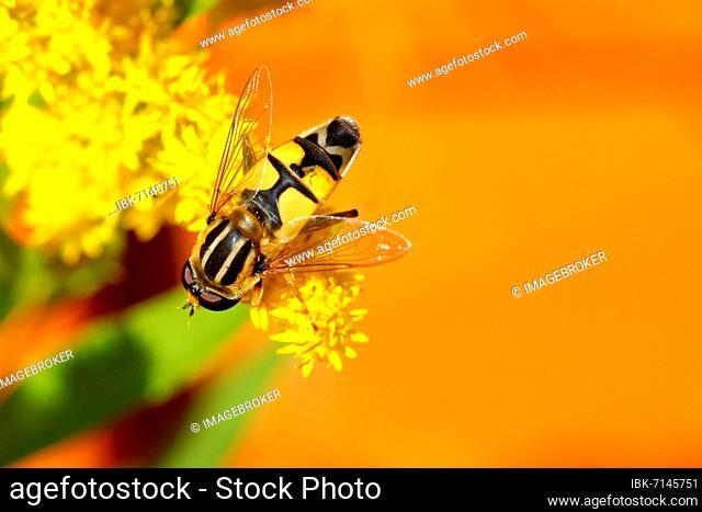 Dangling sunlover (Helophilus pendulus), Rothaargebirge, North Rhine-Westphalia, Germany, Europe