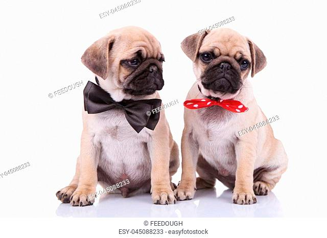 55c68f87 classy seated pug couple wearing adorable bowties, one black and the other  red with white