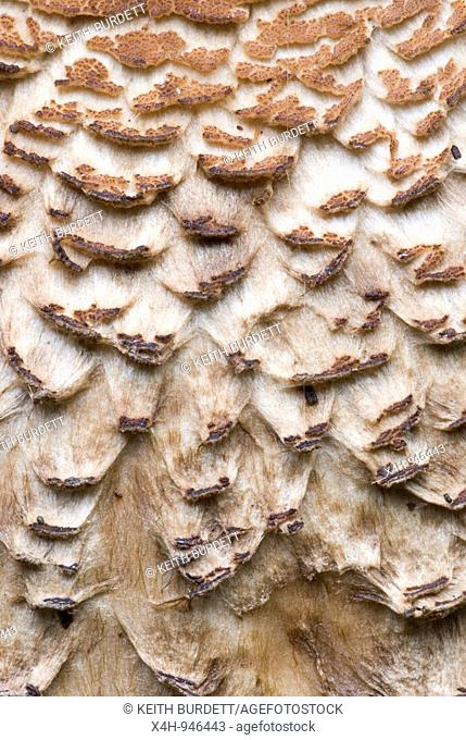 Close up of Shaggy Parasol mushroom, Lepiota procera, Wales