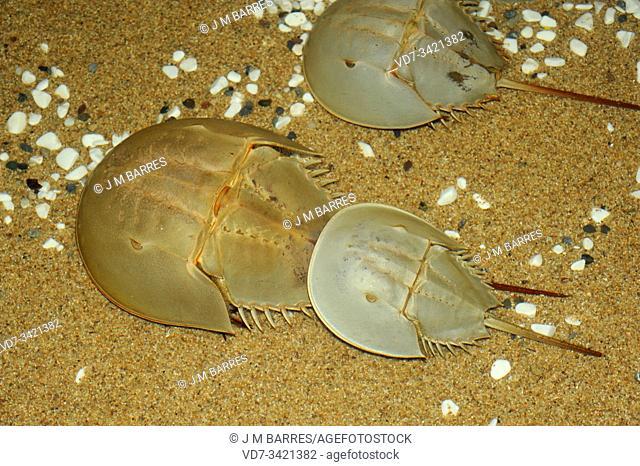 Atlantic horseshoe crab (Limulus polyphemus) is a marine arthropod native to Atlantic coast of North America and Gulf of Mexico