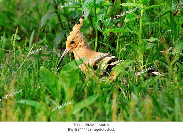 hoopoe (Upupa epops), on on grass, side view, Germany