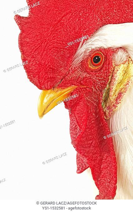 Leghorn Domestic Chicken, Portrait of Cockerel against White Background