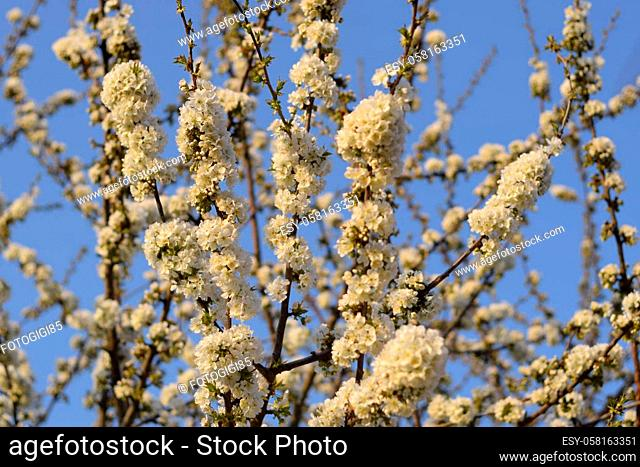 Prunus avium Flowering cherry. Cherry flowers on a tree branch