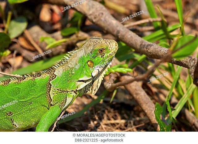 South America,Brazil,Mato Grosso,Pantanal area,Green Iguana or Common Iguana (Iguana iguana) along the water