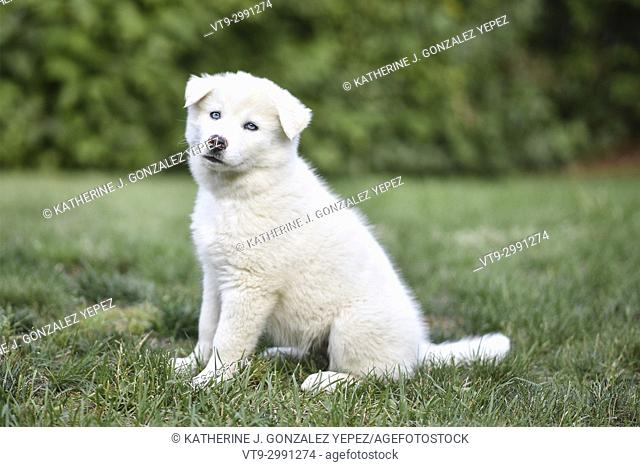 White puppy sitting on grass