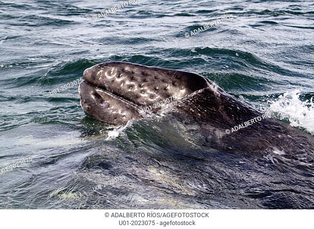 Between January and March arrives to the calm waters of the Mexican Pacific, in Baja California Sur, thousands of gray whales Eschrichtius robustus after...