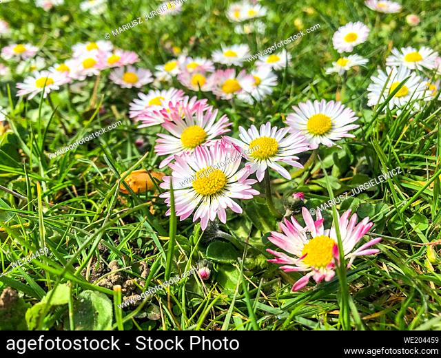 Common daisy (Bellis perennis) is a common European species of daisy of the family Asteraceae, often considered the archetypal species of that name