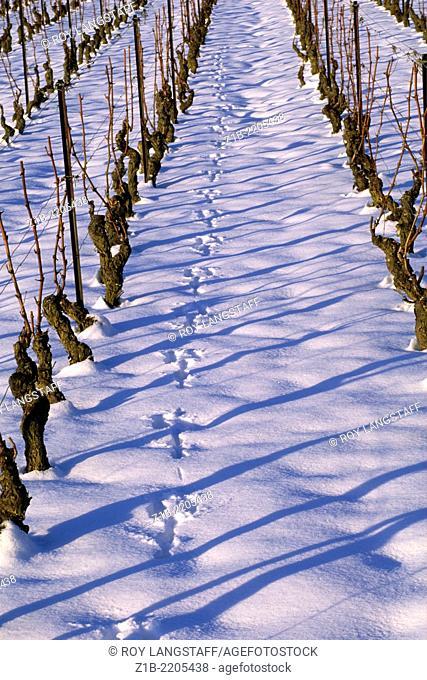 Animal tracks in the snow between rows of vines, near Geneva, Switzerland