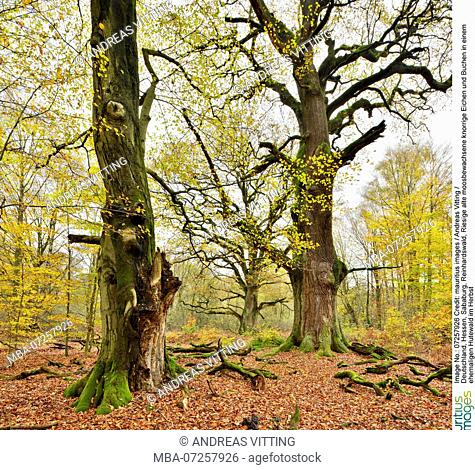 Germany, Hesse, Sababurg, Reinhardswald, Huge old mossy gnarled oaks and beeches in a former pastoral forest in autumn