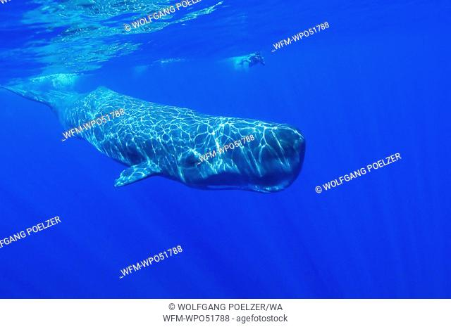 Sperm Whale and Snorkeler, Physeter catodon, Azores, Atlantic Ocean, Portugal