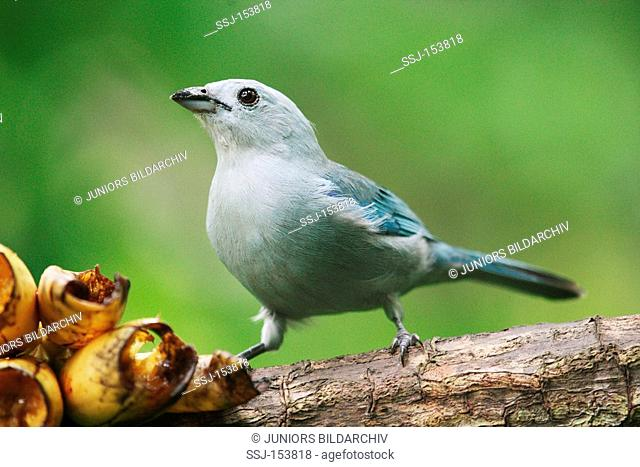 Blue-grey Tanager - sitting on branch / Thraupis episcopus