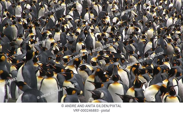 King Penguin (Aptenoditus patagonicus) colony packed together on Macquarie island, sub-Antarctic