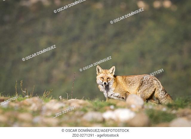 Red fox (Vulpes vulpes) looking for food on vulture feeding station. Pre-Pyrenees. Lleida province. Catalonia. Spain