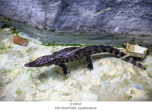 Siamese Crocodile or Crocodylus Siamensis