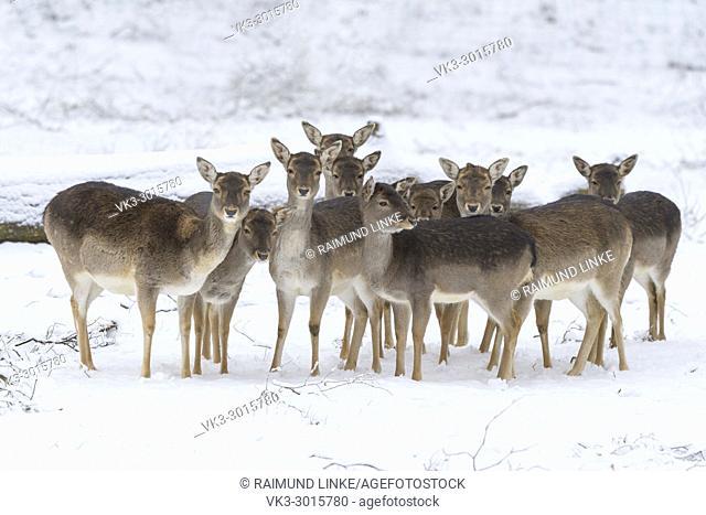 Fallow deers in winter, Dama dama, Germany