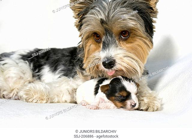 Biewer Terrier. Bitch licking puppy (3 weeks old) while lying on a white blanket. Germany