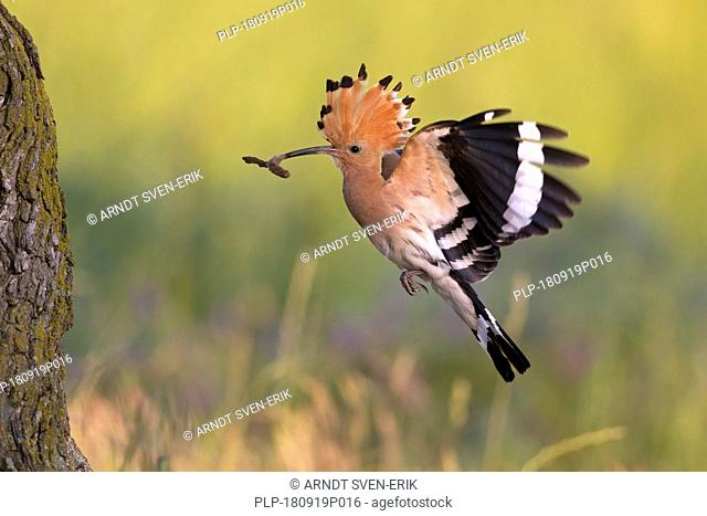 Eurasian hoopoe (Upupa epops) with erected crest feathers flying to nest in tree with caught caterpillar prey in beak