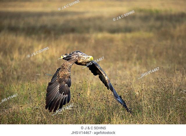 Sea Eagle, (Haliaeetus albicilla), adult flying, Rimavska Sobota, Slovak Republic, Europe