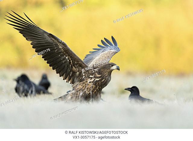 White-tailed Eagle / Sea Eagle ( Haliaeetus albicilla ) young adolescent landing next to some Common Raven on a frozen meadow, wildlife, Europe