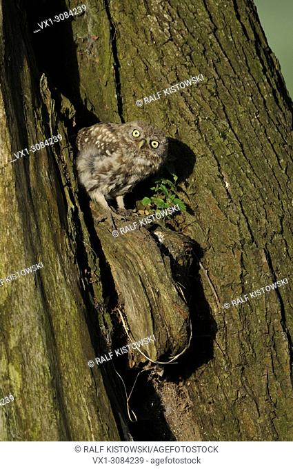 Little Owl / Minervas Owl ( Athene noctua ), little chick, hideing in a hole of a tree, watches curious, looks quite funny, wildlife, Germany