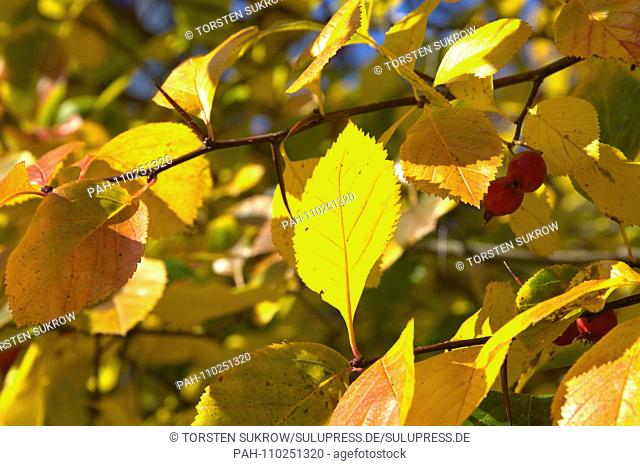 Detail of a autumn-colored cockerel hawthorn tree (Crataegus crus-galli) in Schleswig. Family: rose plants (Rosaceae), subfamily: Spiraeoideae, tribe: pyreae