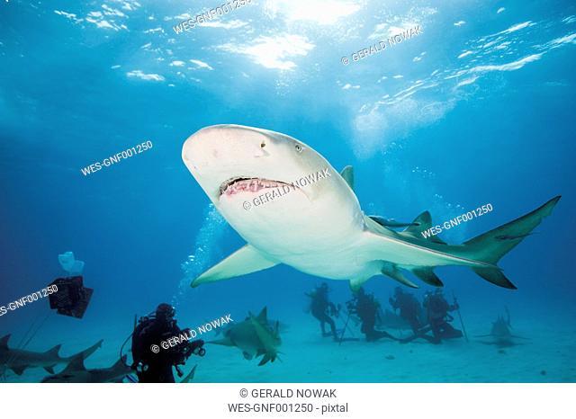 Bahamas, Divers discovering with atlantic lemon shark
