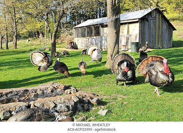 Free roaming turkeys, The Ruckle Farm, Ruckle Provincial Park, Saltspring Island, British Columbia, Canada