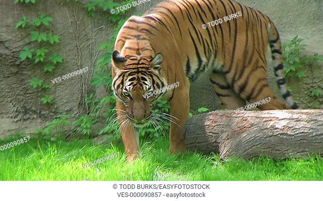 Siberian tiger walking in grass