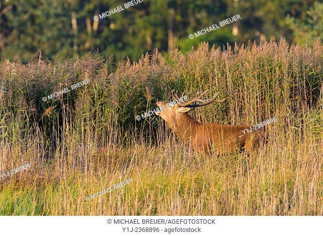 Belling Red Deer (Cervus elaphus) in Rutting Season, Saxony, Germany, Europe