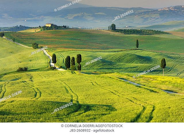 Farmland with Cypress trees along rural road, Pienza, Val d'Orcia, Orcia Valley, Tuscany Landscape, UNESCO world heritage site, Pienza, Siena Province, Tuscany