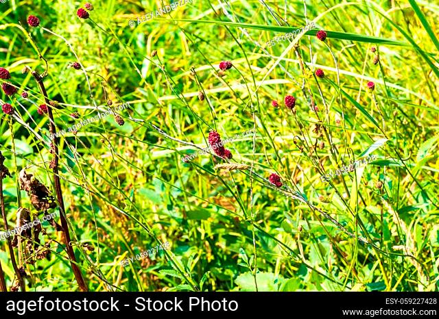 Sanguisorba officinalis branches with red inflorescences
