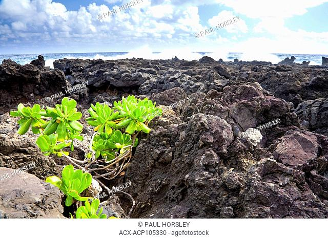 Plants and lava rock, Wai'anapanapa State Park, Maui, Hawaii