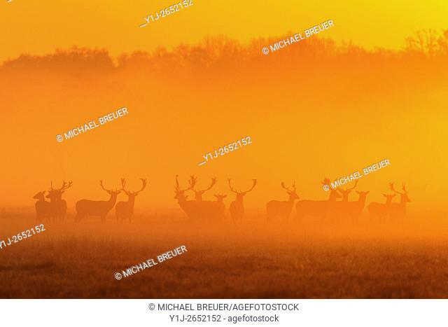 Herd of Fallow Deers (Cervus dama) on misty morning at sunrise, Spring, Hesse, Germany, Europe