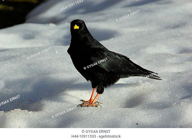 Switzerland, canton St. Gallen, avian, songbird, raven bird, Jackdaw, Pyrrhocorax graculus, on snow