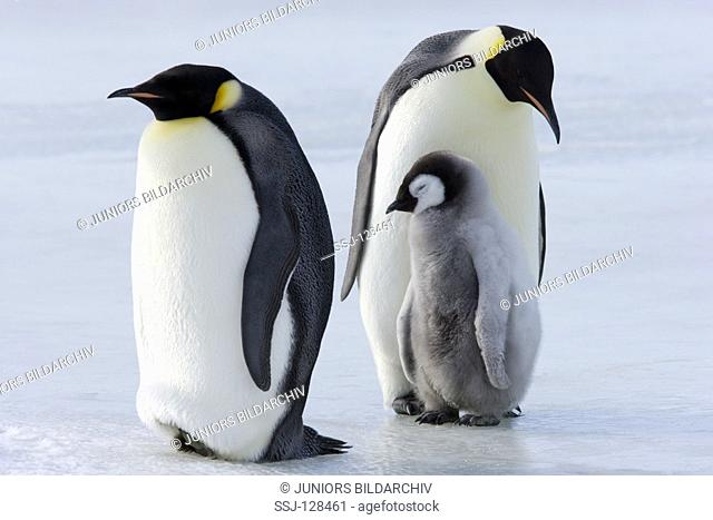 two emperor penguins with cubs - Aptenodytes forsteri