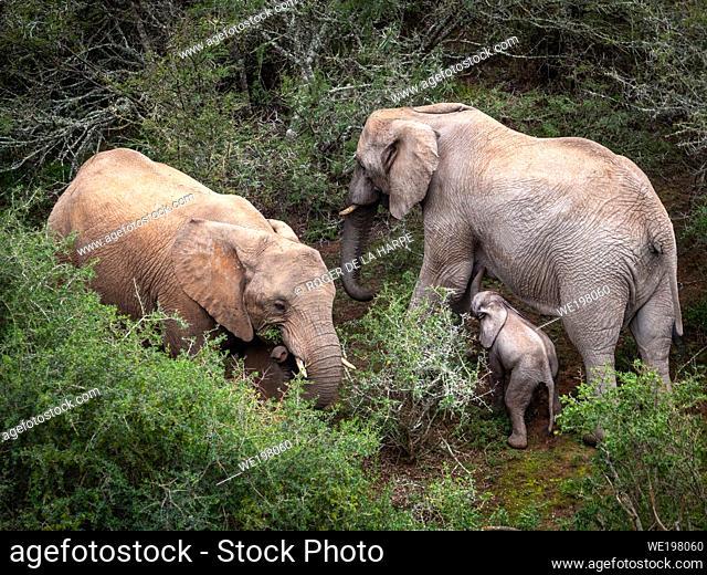 African bush elephant (Loxodonta africana), or African savanna elephant. Eastern Cape. South Africa