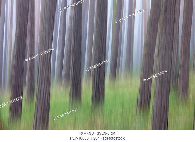 Abstract image of motion blurred Scots Pine (Pinus sylvestris) tree trunks in coniferous forest in the mist