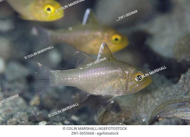 Frostfin Cardinalfish (Ostorhinchus hoevenii), Serena Besar dive site, Lembeh Straits, Sulawesi, Indonesia