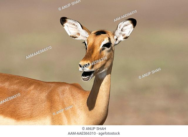 Impala calling - portrait (Aepyceros melampus). Maasai Mara National Reserve, Kenya. Dec 2008