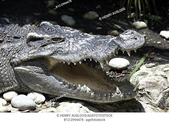 Siamese Crocodile (Crocodylus siamensis), portrait, Thailand