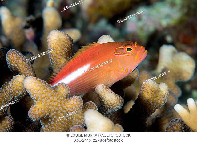 Arc-eye hawkfish, Paracirrhites arcatus